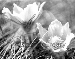 76-Prairie Crocus 3 Image by Dian McCreary Photography