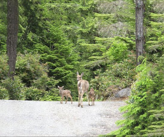 Deer Family on Reef Point Oceanfront B&B Driveway