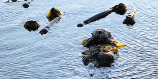Reef Point Oceanfront BB Sea Otter in Ocean