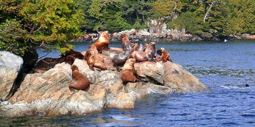 Reef Point Oceanfront BB Sealions on Rocks